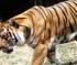 Wild Tiger Slider
